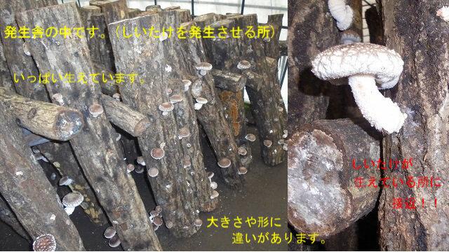4-椎茸の発生と接近写真.jpg